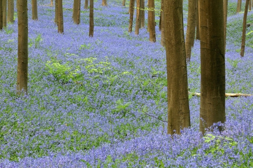 1-nature-photography-forest-photography-blue-forest-hallerbos-belgium