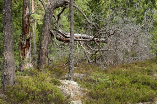 1-nature-photography-forest-photography-hamra-national-park-sweden