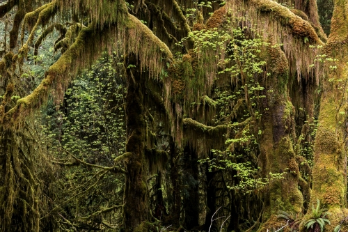 1-nature-photography-forest-photography-hoh-rainforest-olympic-peninsula