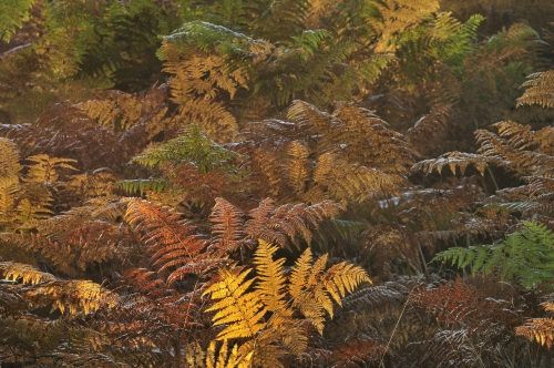 13-nature-photography-forest-photography-ferns-autumn-sonian-brussels - copie-2