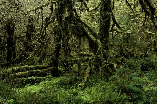 16-nature-photography-forest-photography-quinault-rainforest