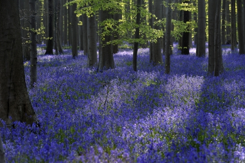 18-nature-photography-forest-photography-blue-forest-halle-belgium