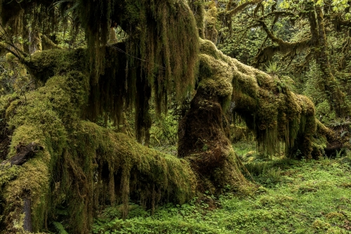 18-nature-photography-forest-photography-hoh-rainforest