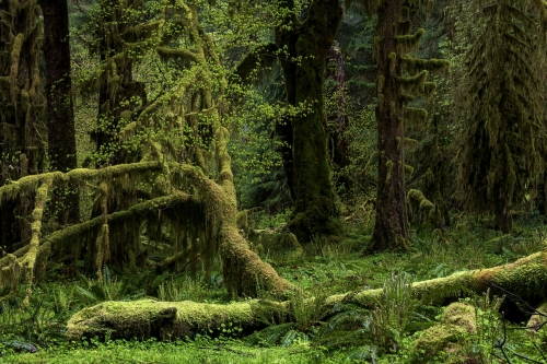 2-nature-photography-forest-photography-bogachiel-rainforest-olympic-peninsula