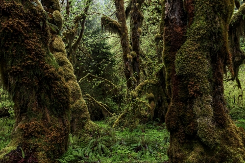 5-nature-photography-forest-photography-hoh-rainforest-olympic-peninsula
