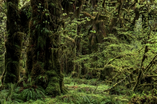6-nature-photography-forest-photography-queets-rainforest-washington-state