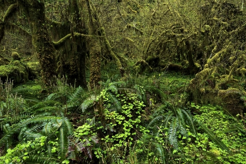 forest-photography-queets-rainforest-olympic-peninsula-usa