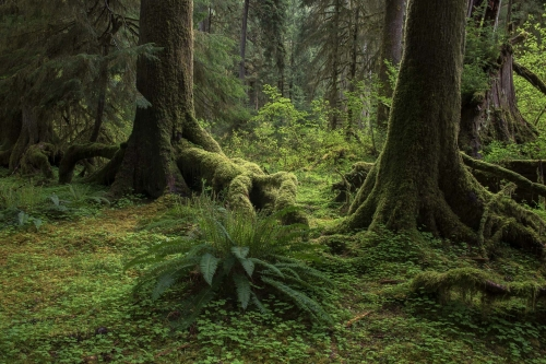 forest-photography-temperate-rainforest-hoh-rainforest-olympic-peninsula