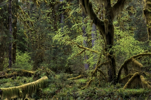 frédéric-demeuse-forest-photography-hoh-rainforest