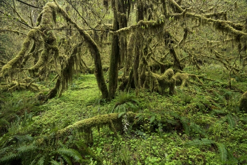 quinault-rainforest-olympic-peninsula-usa